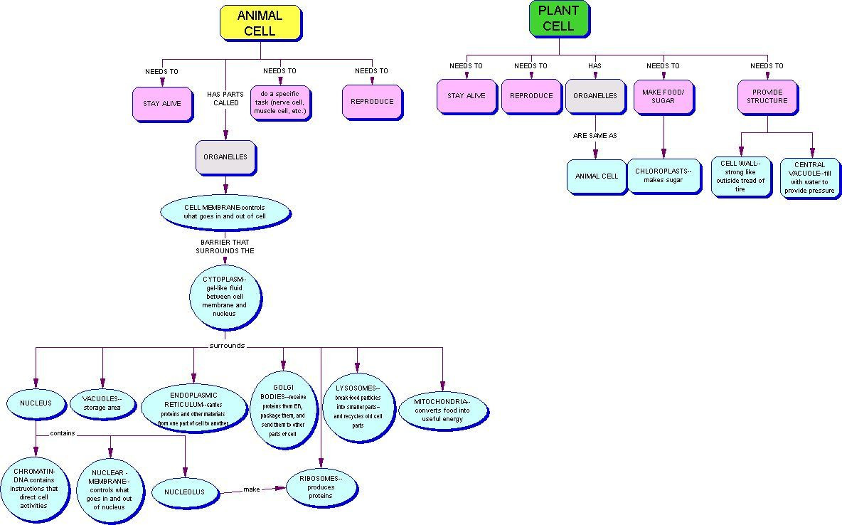 Cell Cycle and Mitosis Concept Map Answers