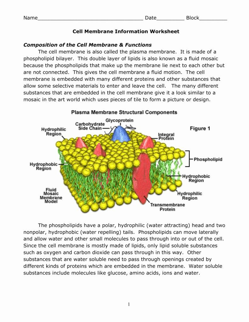 Cell Membrane Worksheet Answers