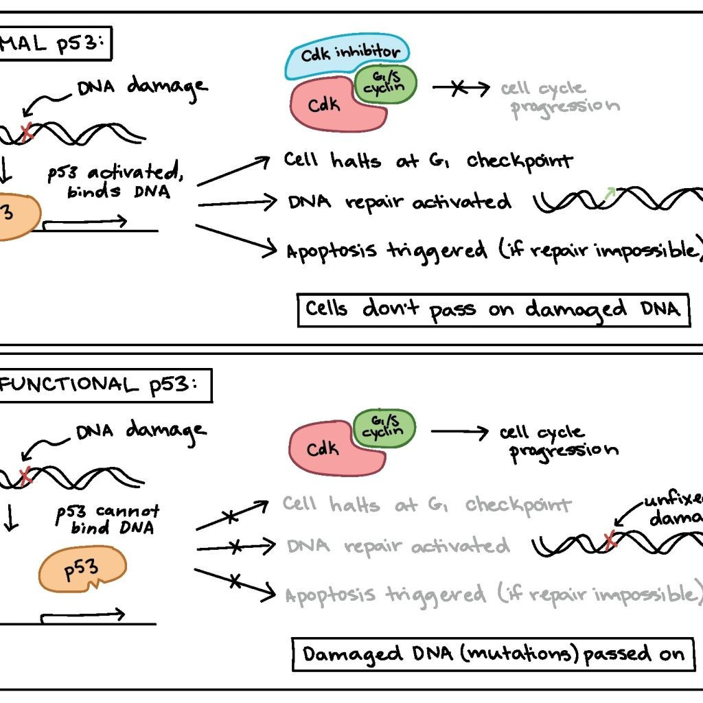 Cells Alive Cell Cycle Worksheet