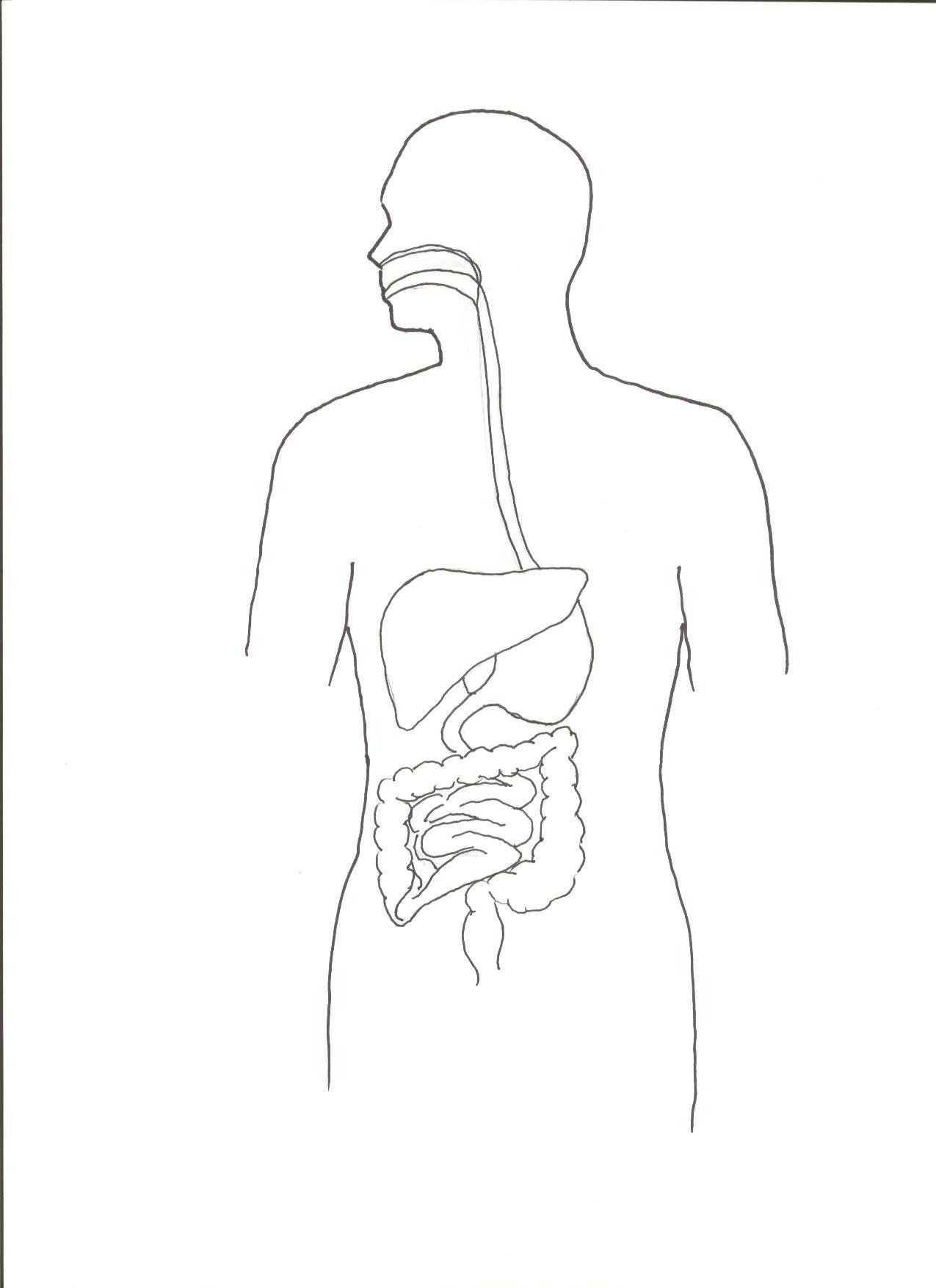 Digestive System Worksheet High School