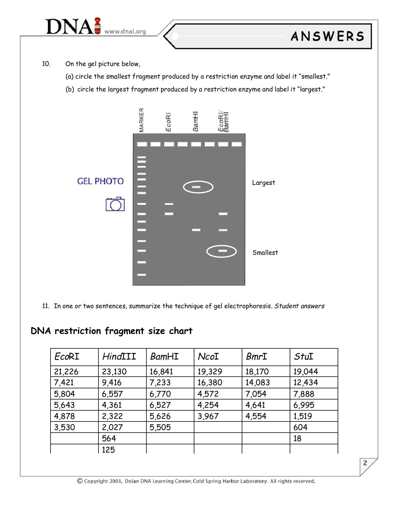 30 Gel Electrophoresis Worksheet Answers | Education Template