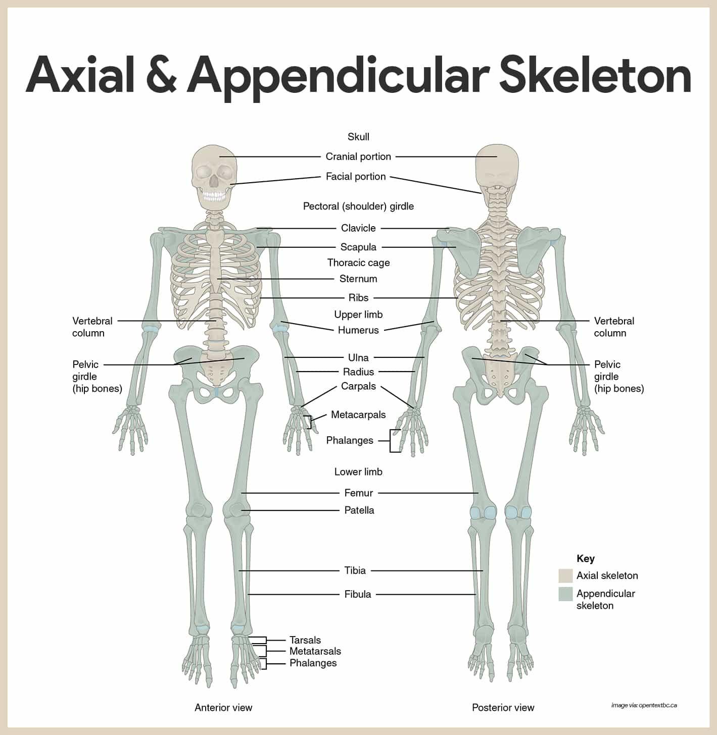 Skeletal System Labeling Worksheet Pdf