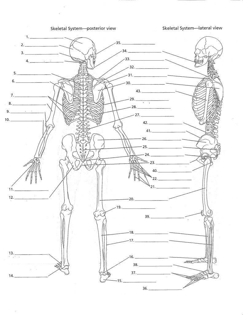 34 Blank Skeleton Diagram To Label Labels Database 2020