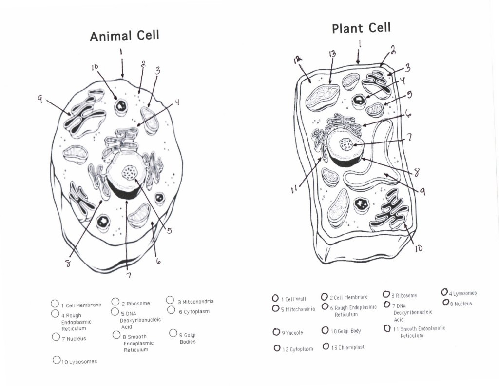 Animal Cell Worksheet Answers