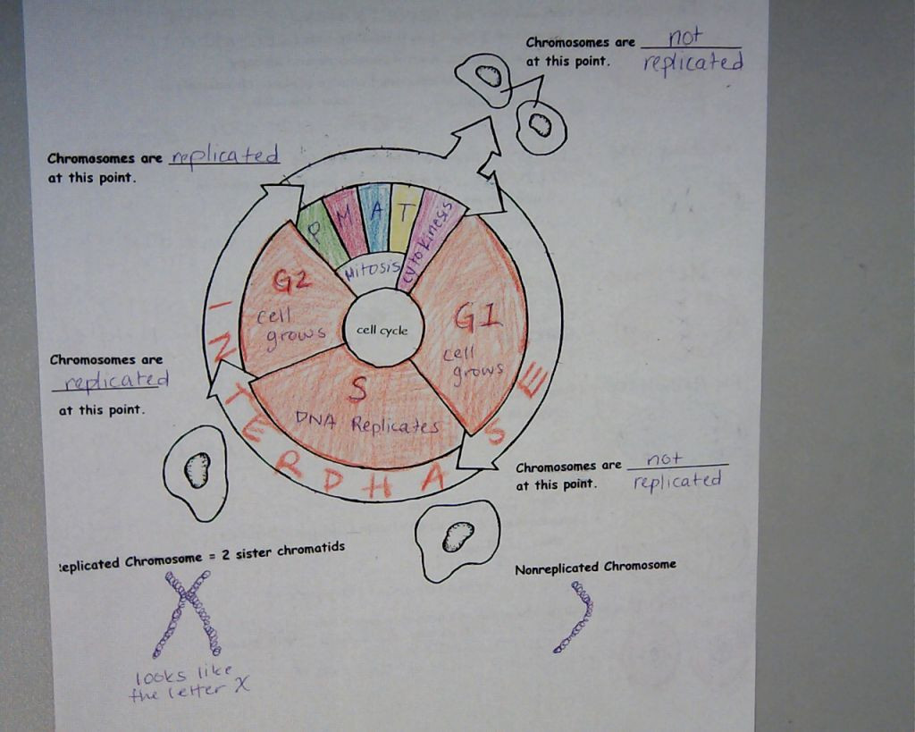 Cell Cycle Coloring Worksheet