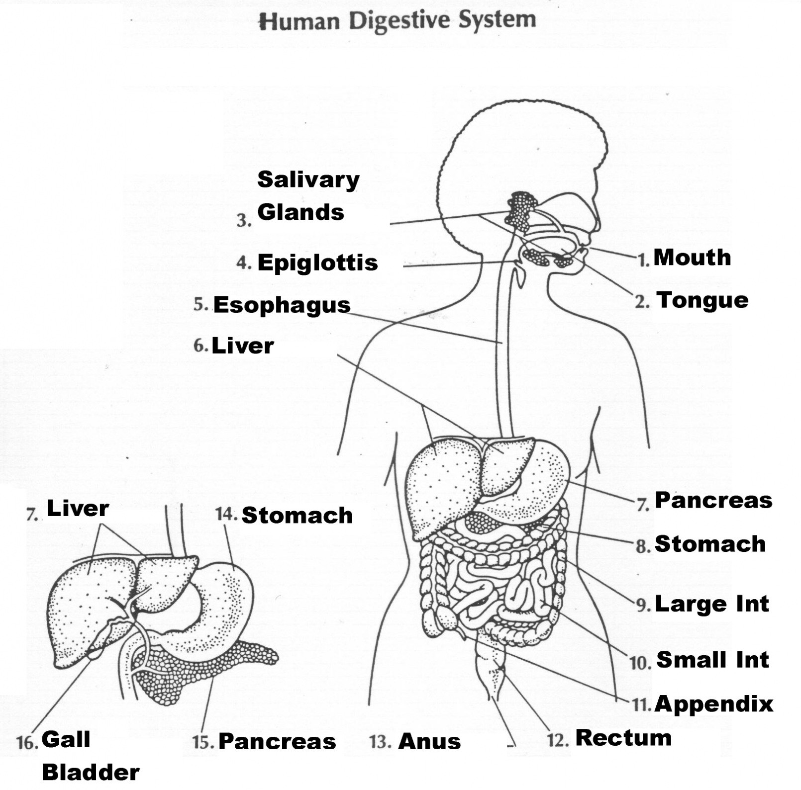 Digestive System Worksheet Answers