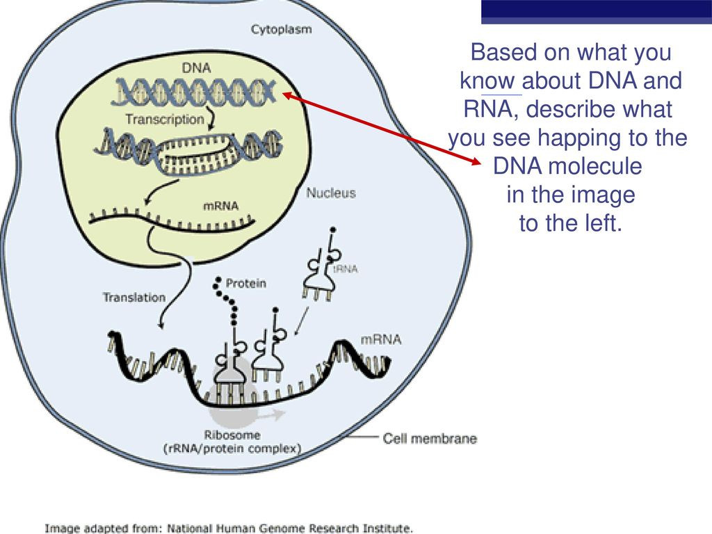 Dna and Rna Worksheet