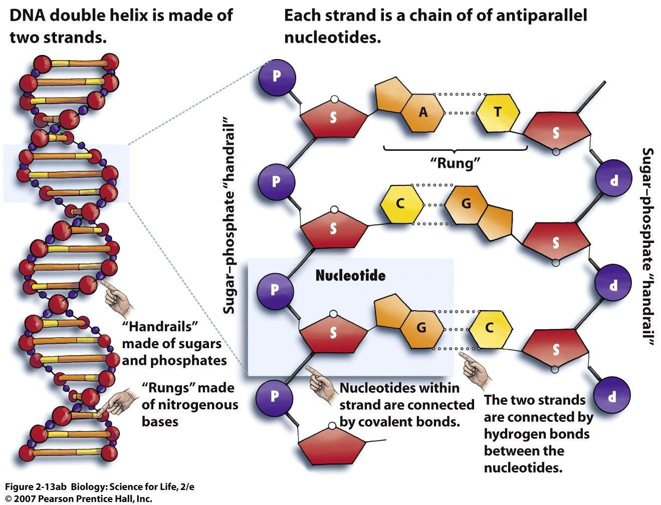 30 Dna the Double Helix Worksheet | Education Template