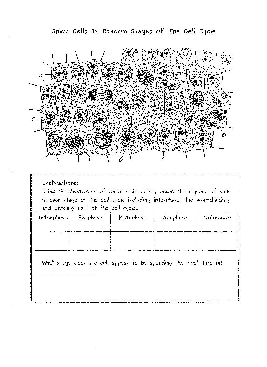 Onion Cell Mitosis Worksheet Answers