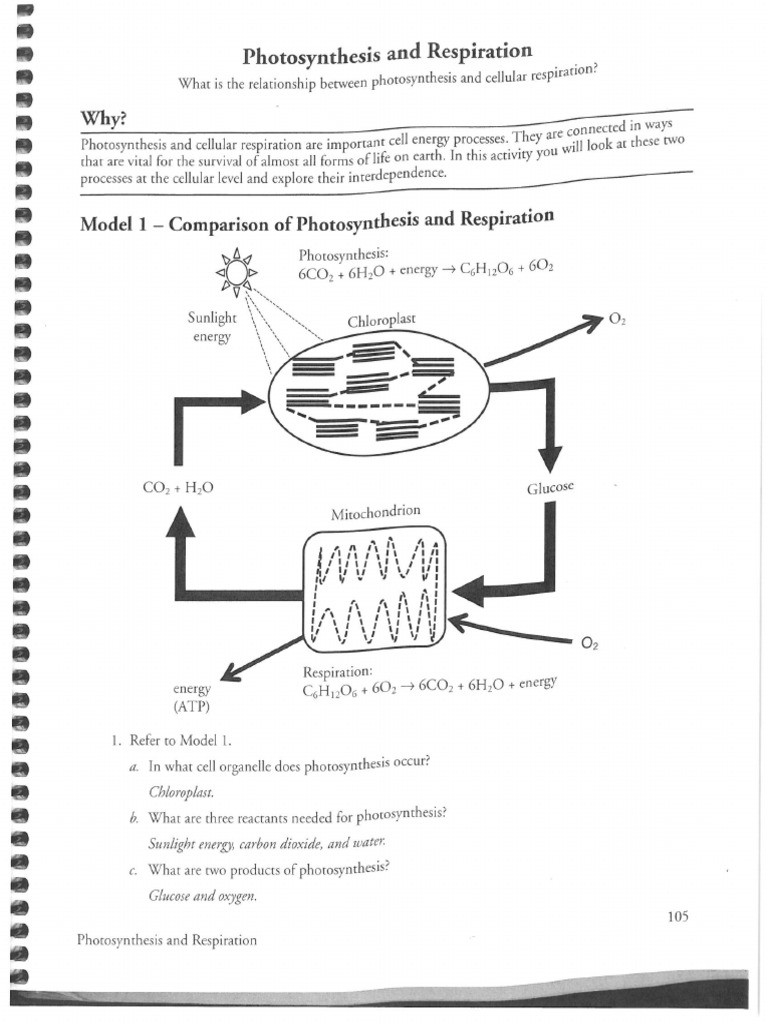 Photosynthesis and Respiration Worksheet Answers
