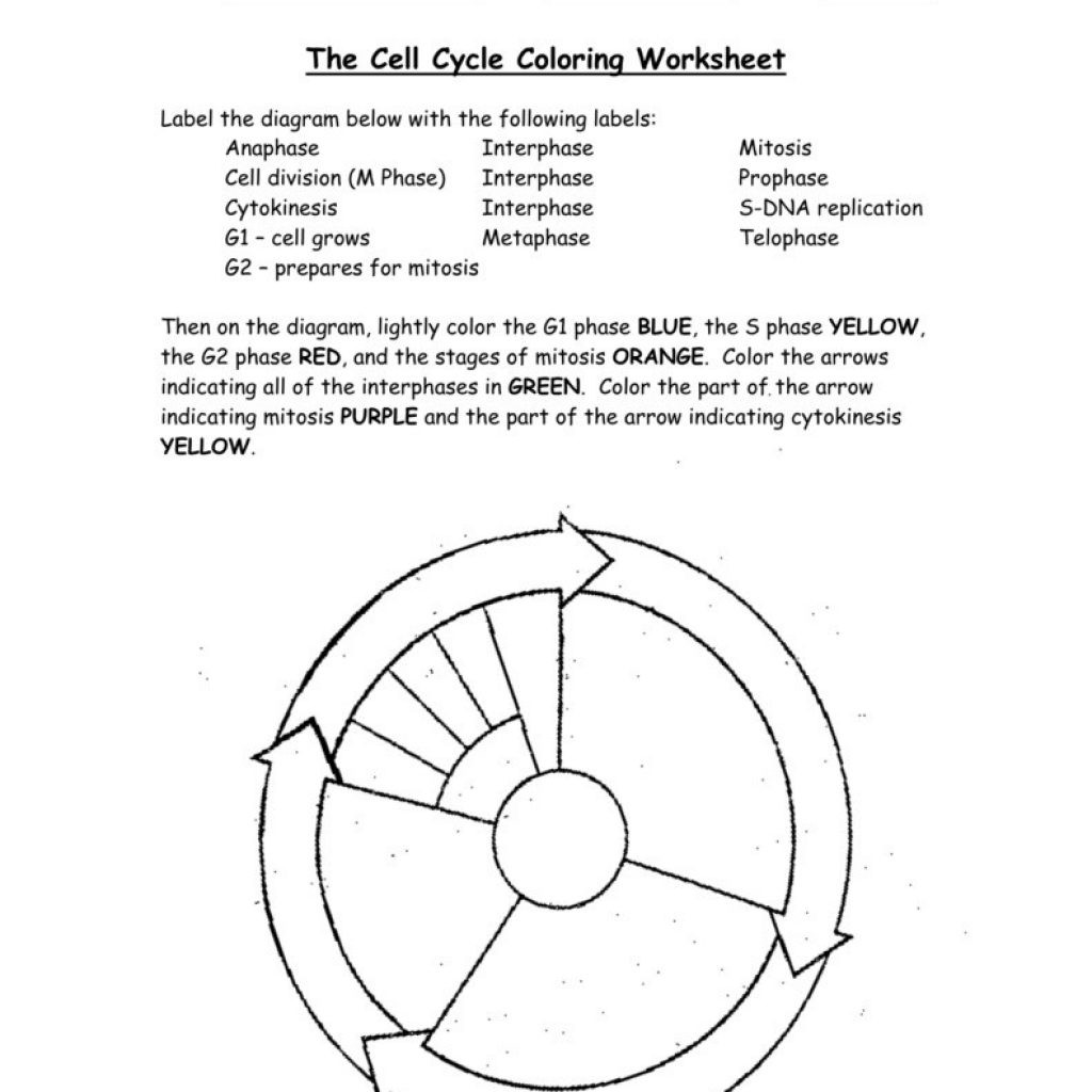 The Cell Cycle Worksheet